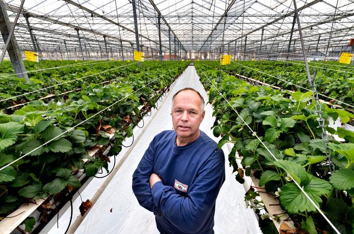 Roland van Asseldonk tussen zijn aardbeienplanten.