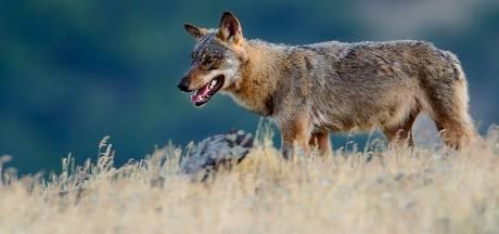 Le loup n'est plus une espèce protégée aux États-Unis