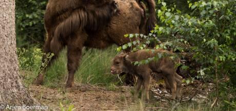 Maashorst verwelkomt eerste wisentkalfje van ook ter plaatse geboren koe