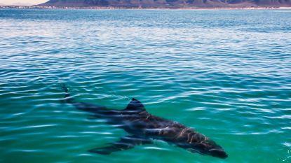 De nachtmerrie van elke surfer: man ziet pas op foto hoe dicht hij kwam bij witte haai