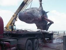 Un cachalot déterré après trente ans à Coxyde