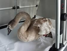 Machinist redt gewonde zwaan van spoor
