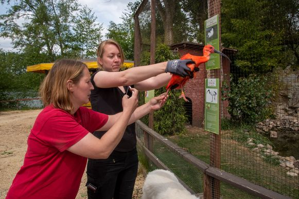 De rode ibis uit Plankendael in Harry Malter park is gevat.