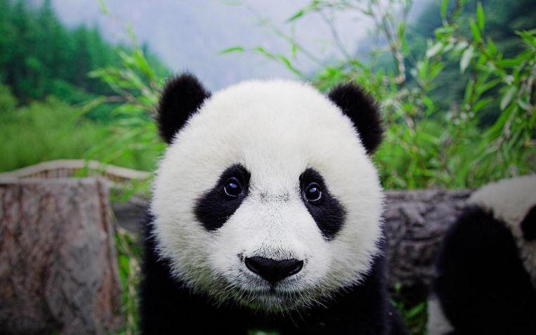 De panda zoals we 'm kennen: ingetogen en schattig. Beeld