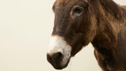 20 zwaar verwaarloosde ezels in beslag genomen in Moorsel