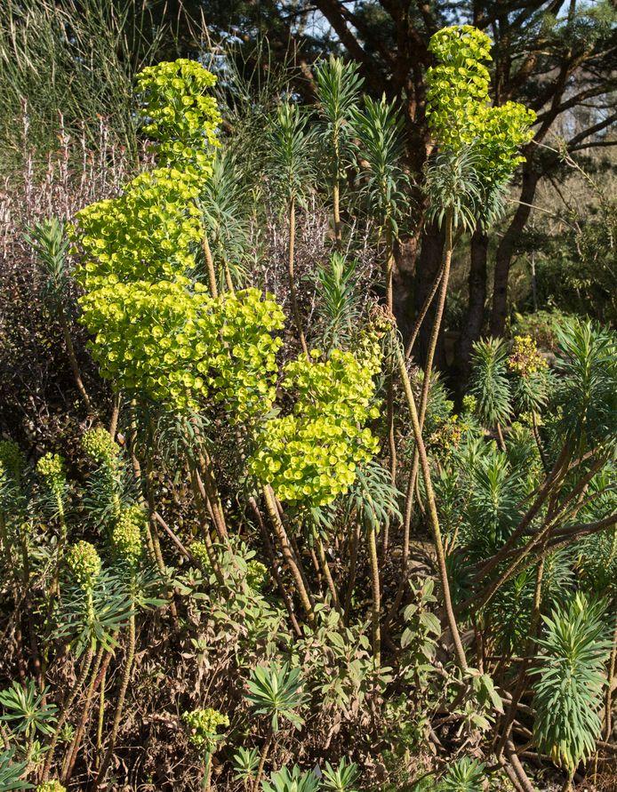 Euphorbia amygdaloides.
