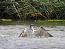 Recreanten storen broedende visarend in Biesbosch: 'Zonde als we deze vogels wegjagen'