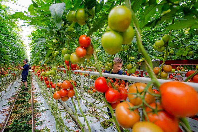 Van de voedende werking die CO2 heeft op planten wordt dankbaar gebruik gemaakt in de kastuinbouw. Beeld ANP