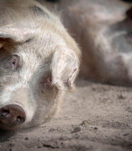 Er is maar één ding nog leuker dan varkens eten geven: met de waterslang een modderbad maken
