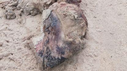 Dit is géén dino, maar een bruinvis: kadaver spoelt aan op strand