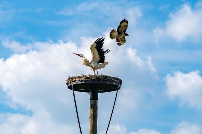 De buizerd valt voor de derde en laatste keer het ooievaarsnest aan: de bewoner verweert zich door met zijn vleugels te klapperen.