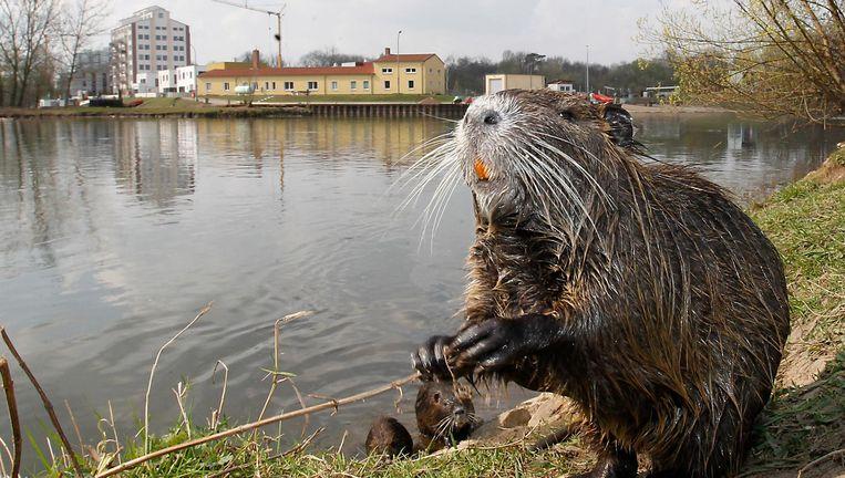 Iets tussen kip, varken en konijn: een rivierrat, ook bekend als nutria. Beeld Getty Images