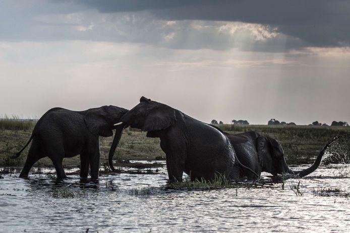 Olifanten in het Chobe National Park in Botswana.