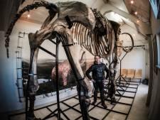 De grootste mammoet ter wereld staat in een schuur in de Achterhoek