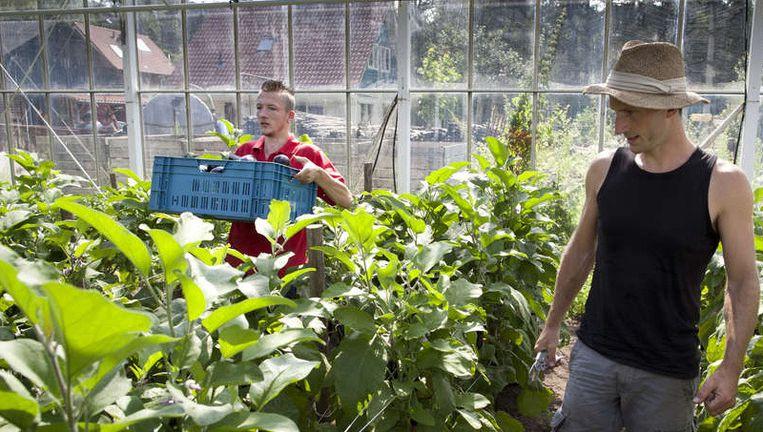 Aubergines plukken op antroposofisische zorgboerderij De Vijfsprong in Vorden. Er wordt gewerkt volgens de principes van de biologisch-dynamische landbouw. ©Herman Engbers Beeld