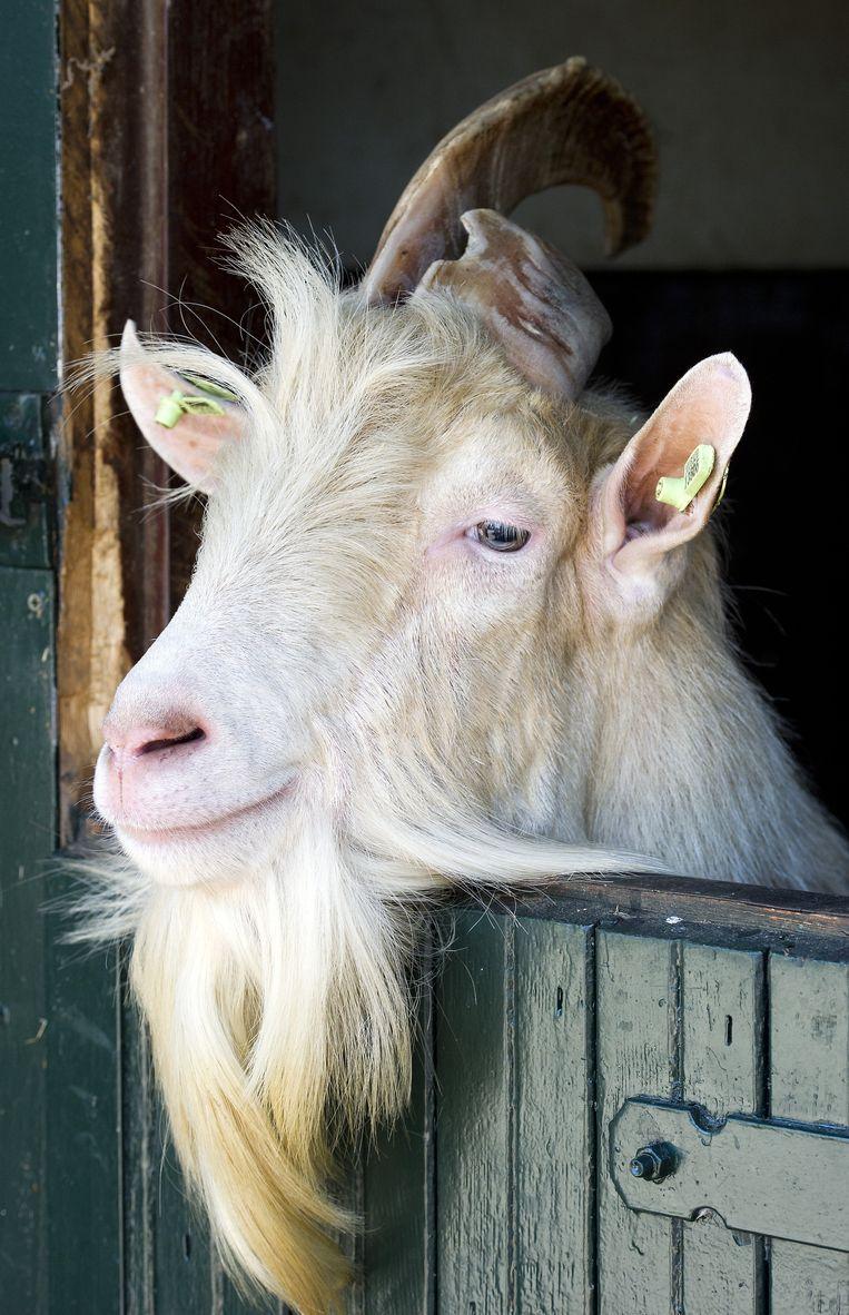 Het patroon duikt ook op bij boerderijdieren zoals geiten en koeien. Beeld anp