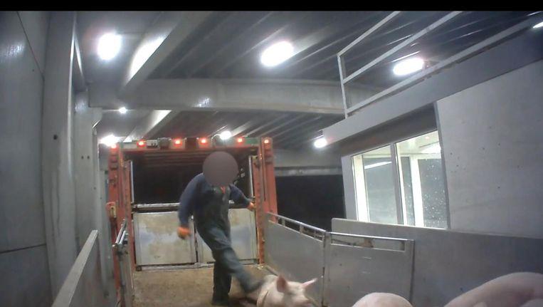 Door Animal Rights gemaakt beeld van de praktijken in een slachthuis in het Belgische Tielt. Beeld .