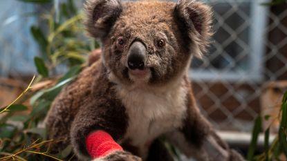 Een week goed nieuws: koala's die gewond raakten bij bosbranden, worden vrijgelaten in het wild en andere verhalen die je blij maken