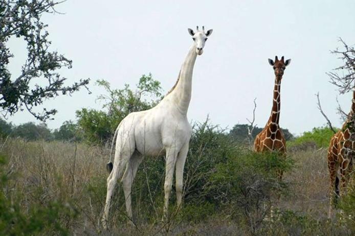 Zeldzaam beeld van het witte giraffenvrouwtje