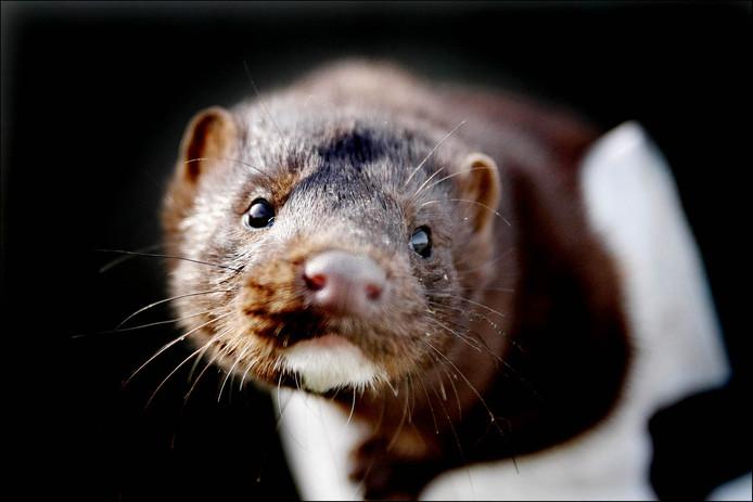 Een bedrijf in Gemert fungeert als een soort tussenpersoon in de handel van pelsdiervachten.