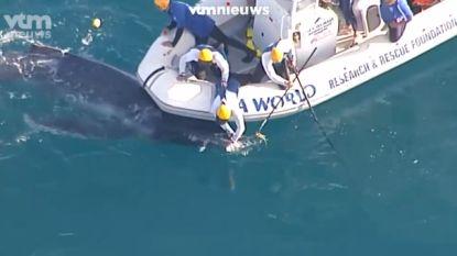 VIDEO. Walviskalfje na urenlange operatie gered uit haaiennetten, moeder blijft geduldig wachten