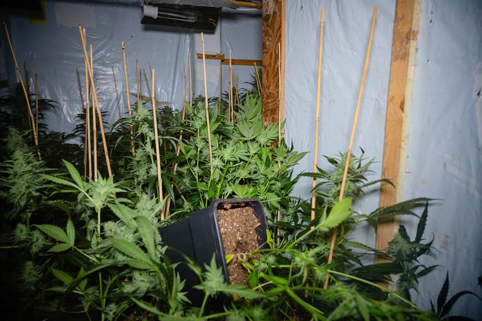 Er stonden ongeveer 600 planten en stekken, meldde de politie.