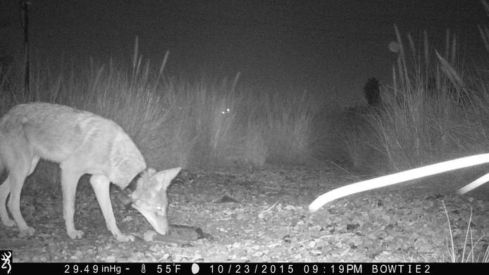Ook de coyotes in Californië hebben hun leven aangepast aan de mens. Ze gaan vaker 's nachts op zoek naar eten dan overdag.