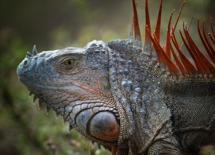 Leguanen vormen een enorme plaag in Florida en de autoriteiten hebben moeite de populatie in te dammen.