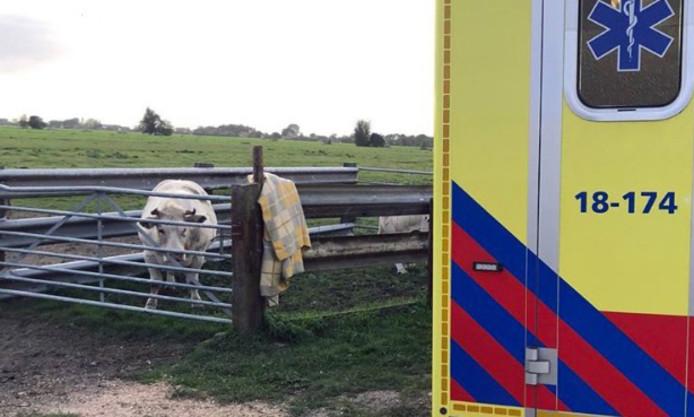 De koe achter het hek.