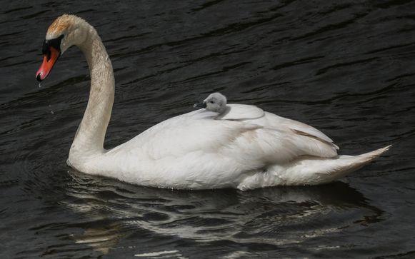 Mama zwaan neemt haar kroost mee op de rug.
