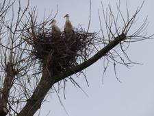 Ooievaarskoppel op eigen nest in Pannerden