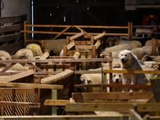 Grote berghond houdt wolf weg van schapen op Sallandse Heuvelrug