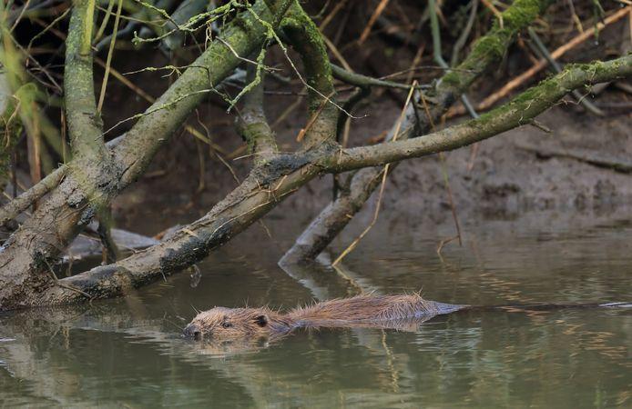 Foto ter illustratie: de bever in de Biesbosch.