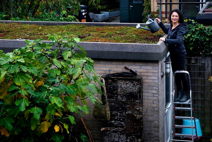De Gorcumse Iris Keasberry op een trapje naast haar schuurdak. Na de aanleg moesten de volwassen plantjes wel wat extra water krijgen, want de rol werd op een bloedhete junidag neergelegd.