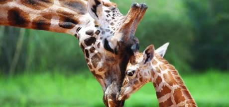 Met uitsterven bedreigde giraffe krijgt beschermde status