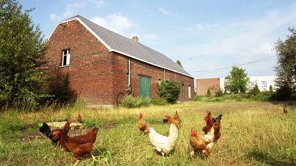 Nieuwe actie limburg.net voor kippen die keuken- en tuinafval verorberen