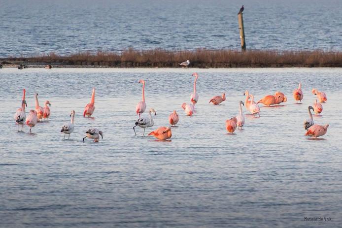 De Gorcumse fotografe Mariëlle de Valk fotografeerde eerder deze flamingo's in het Grevenlingenmeer nabij Battenoord. Mogelijk komen de bezoekers van de Noordwaard uit die groep.