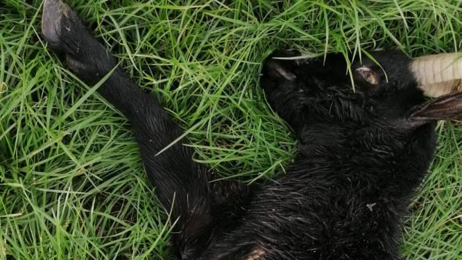 Telg wolvenfamilie bijt geit dood