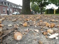 Zorgen voor het nageslacht: het regent eikels uit kurkdroge bomen