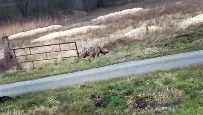 Een wolf loopt langs de N381 ter hoogte van Noord-Sleen, bij Emmen