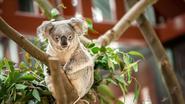 Waarom Australië mogelijk de helft van al zijn koala's moet doden