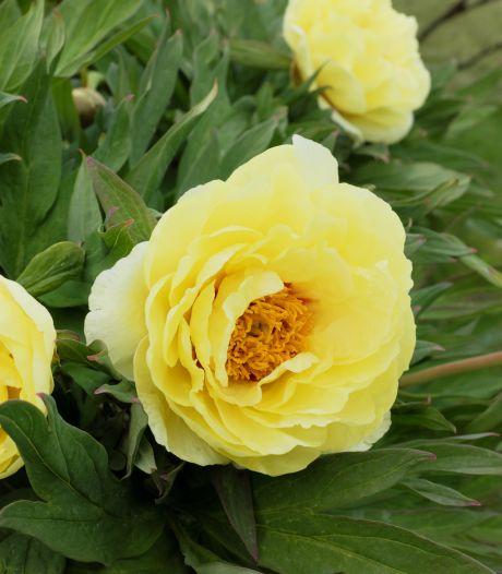 Tijd om na te denken over een struik- of boompioen: zo laat je ze mooi bloeien