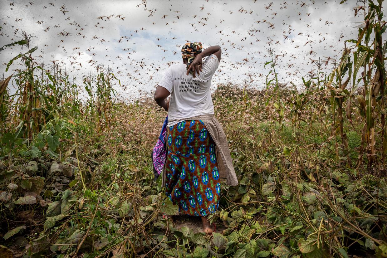 Een vrouw slaat de sprinkhanen om haar heen weg op een boerderij in het dorp Katitika in Kenia.  Beeld Sven Torfinn / de Volkskrant