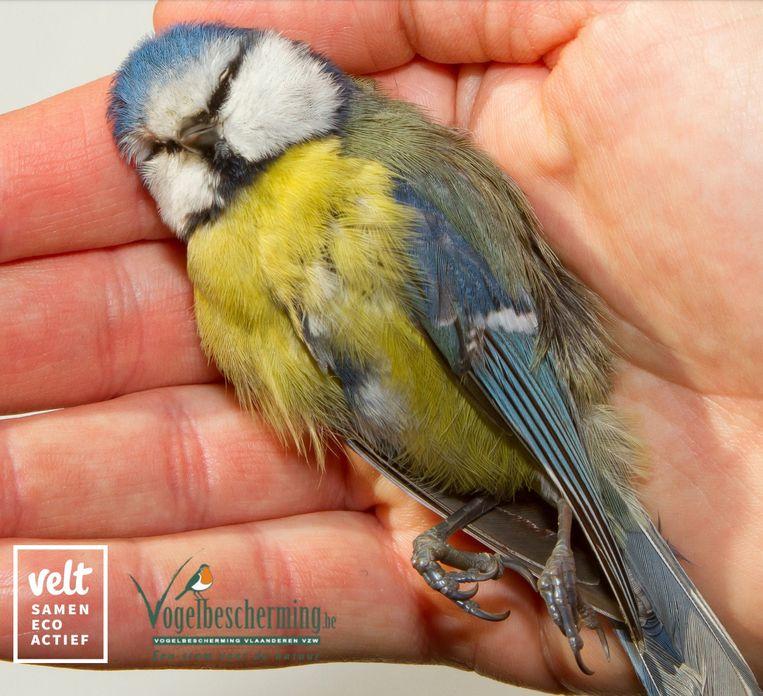 Velt en Vogelbescherming Vlaanderen lieten honderden dode jonge mezen onderzoeken op gif.