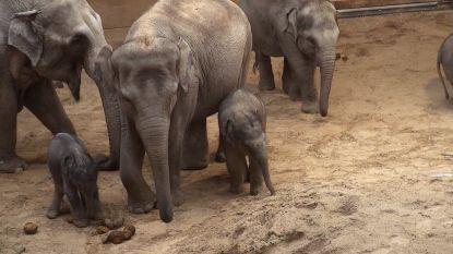 Babyboom in Planckendael: al derde olifantenbaby in amper vier maanden