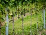 Brabantse wijnboer baalt door mislukte oogst