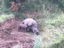 Hartverscheurend: babyneushoorn probeert te drinken bij dode moeder