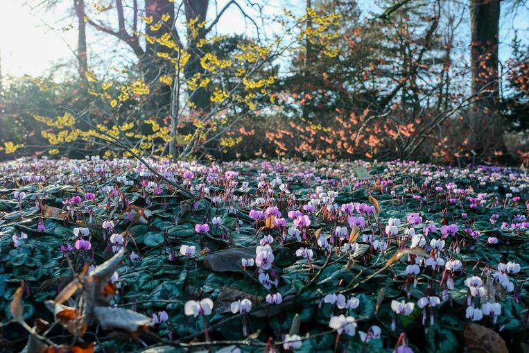 Natuur ontwaakt in plantentuin van Meise, Winter Cyclaam.