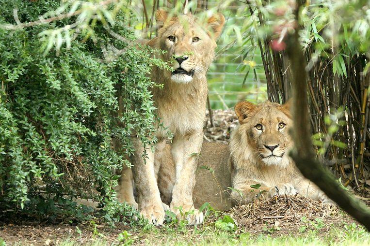 Archieffoto uit 2016 van leeuwen Motshegetsi (L) en Majo, de vader van de twee welpjes die door moeder Kigali werden opgevreten.
