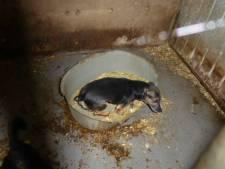 Rasvereniging pleit voor meer controle na vondst illegale 'hondenfabriek' in IJsselland